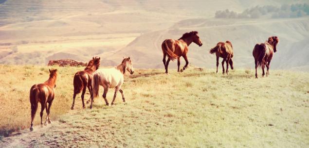wild-herd-635px-FT