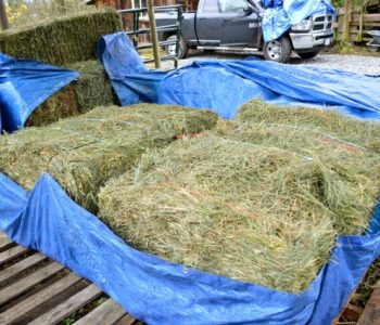 Storing Hay So It NEVER Gets Moldy