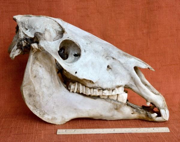 mustang-right-skull.jpg