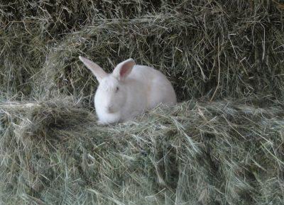 Barn Bunny