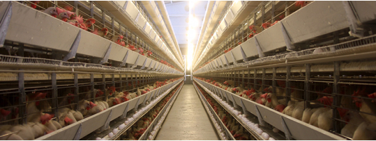 bcspca-chicken-farm