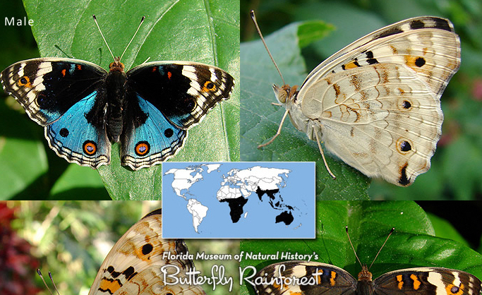 The male Junonia orithya butterfly - blue on top, flaxen/beige underneath