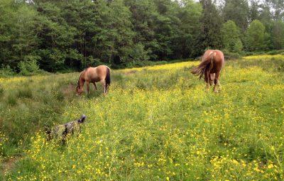 buttercup-field