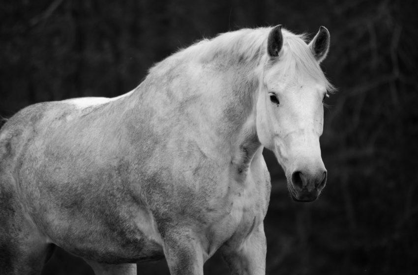 white-horsedt