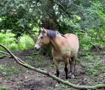 Beyond the Peaceful Woods: Horse Magic & Tree Elders