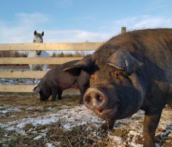 Rewilding the Herd – Last Night on Earth